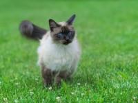 Характер тайской породы кошек