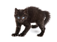 Почему кошка шипит на хозяина?