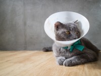 Снятие швов у кошки после стерилизации