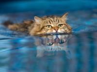 Плавают ли кошки?