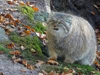 Самые опасные кошки в мире