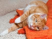 Что делать, если у кота кокки в моче?