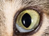 Почему у кота воспалился глаз