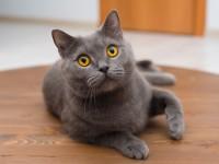 В каком возрасте у кошек начинается первая течка