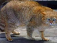 Описание китайской породы кошек