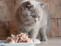 Уход и кормление шотландского прямоухого котенка