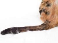 Что делать, если у кошки облазит хвост?