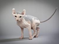 Породы кошек которые не линяют
