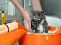 Как приучить кошку купаться?