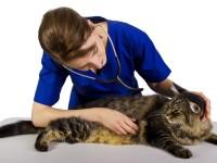 Как распознать цистит у котов
