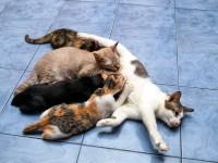 Как определить сколько котят будет у кошки?