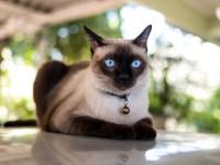 Описание породы и характера сиамских котов