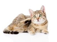 Все о паразитах у кошек