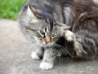 Как избавить кота от блох в домашних условиях