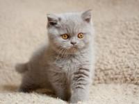 Питание британских котят в 2 месяца