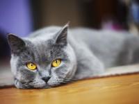 Сколько ходят беременныешотландские кошки