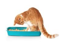 Что делать если кот жидко ходит в туалет?