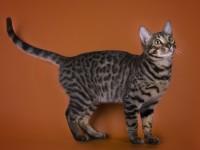 Кошка тигрового окраса — порода тойгер