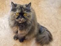 Почему у кошки жирная шерсть?