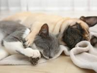 Как подружить щенка с взрослой кошкой