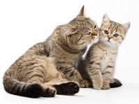 Как лечить пиелонефрит у кота?