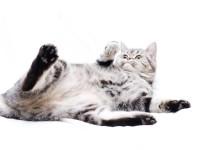 Как взять анализ мочи у кота?