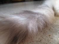 Кошка с беличьим хвостом