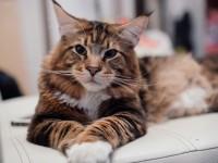 Какие породы кошек пушистые?