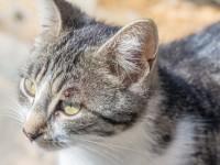 Воспаление третьего века у кошек