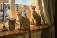 10 самых долгоживущих пород кошек