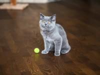Питание британского котенка в 4 месяца