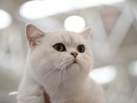 Уход за британской кошкой во время течки
