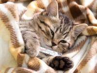 Как понять что у кошки есть температура