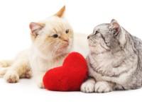 Кошка просит кота — как успокоить народными средствами