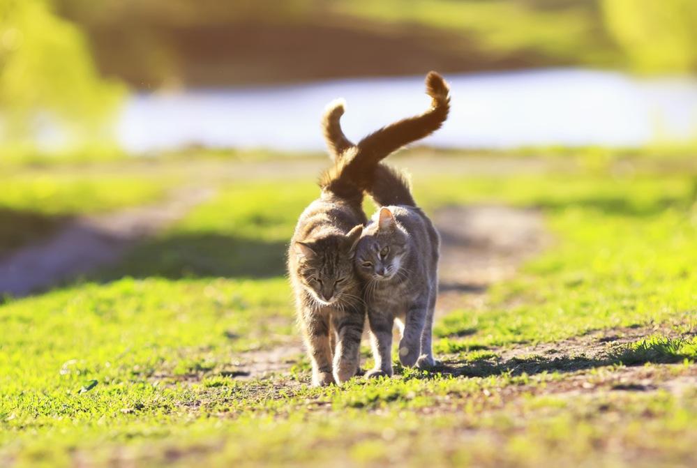 На сколько уходят гулять коты