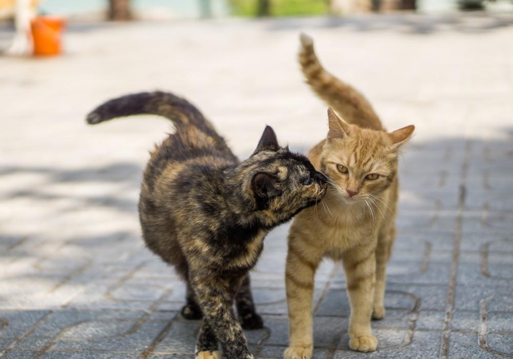 Чем лучше облегчить течку кошке