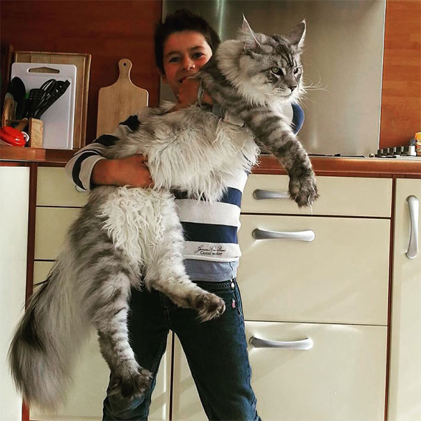 Мейн-кун: фото и цена. Кошка мейн кун описание, характер