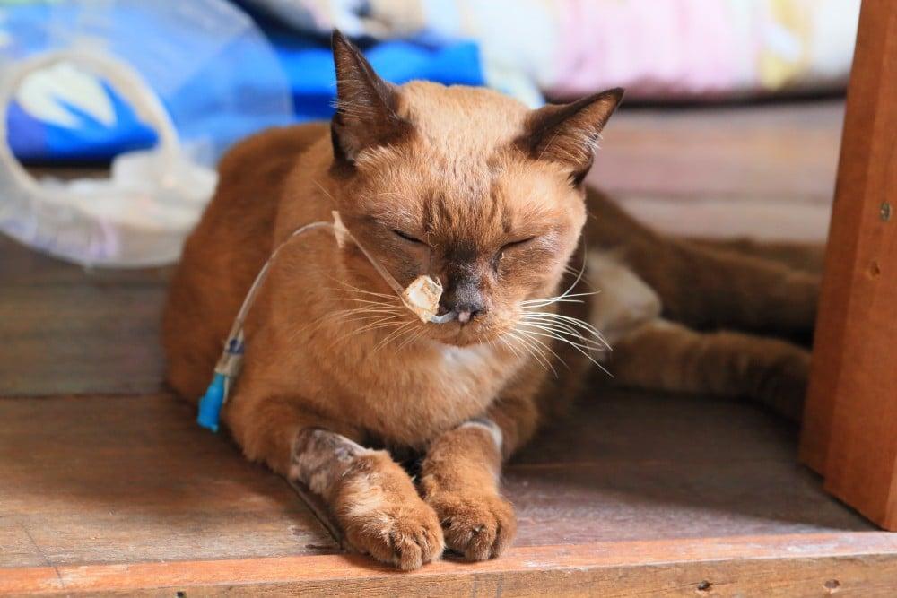 Умирает молодой кот