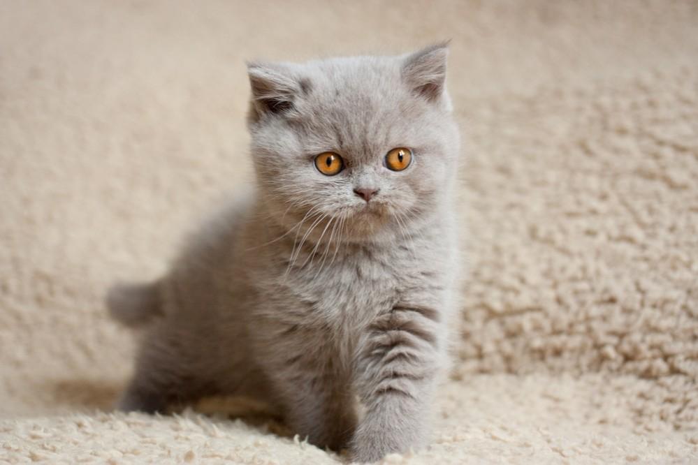 аллергия на шотландских вислоухих кошек