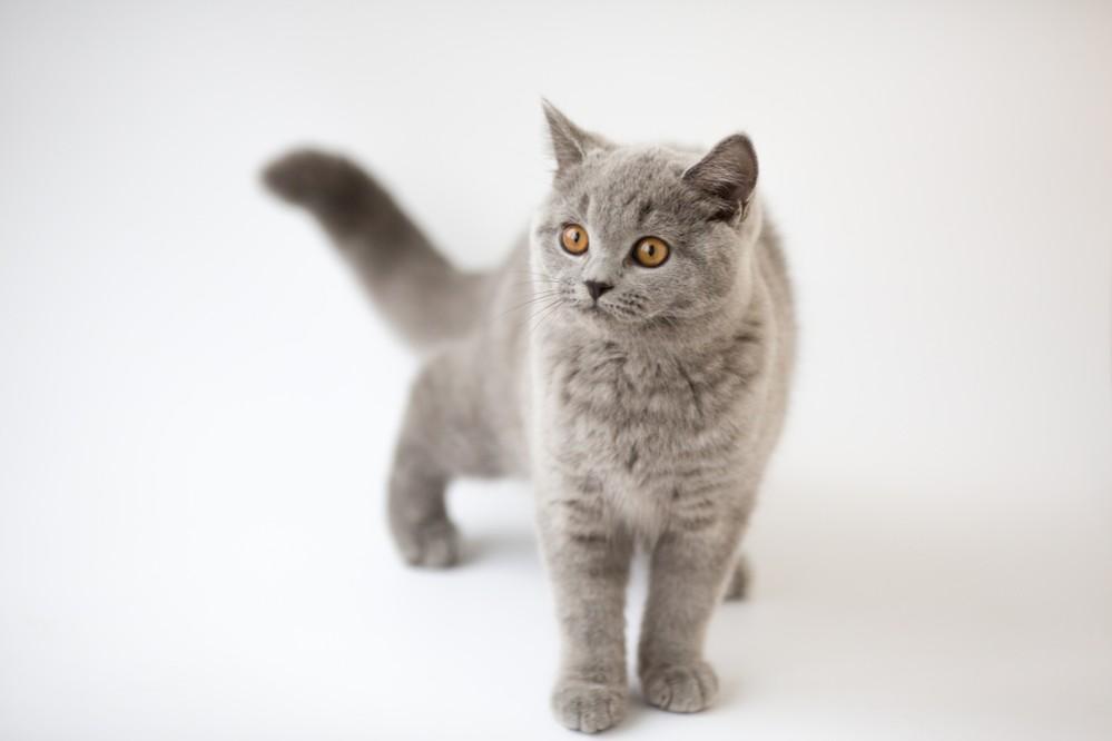 Британские вислоухие кот аллергия