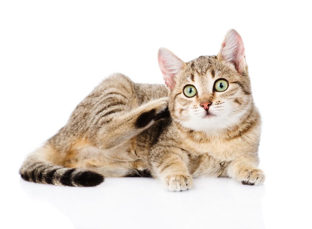 cat always scratching but no fleas