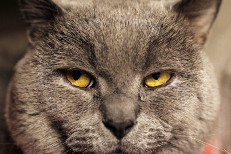 Может ли после кастрации кот хотеть кошку