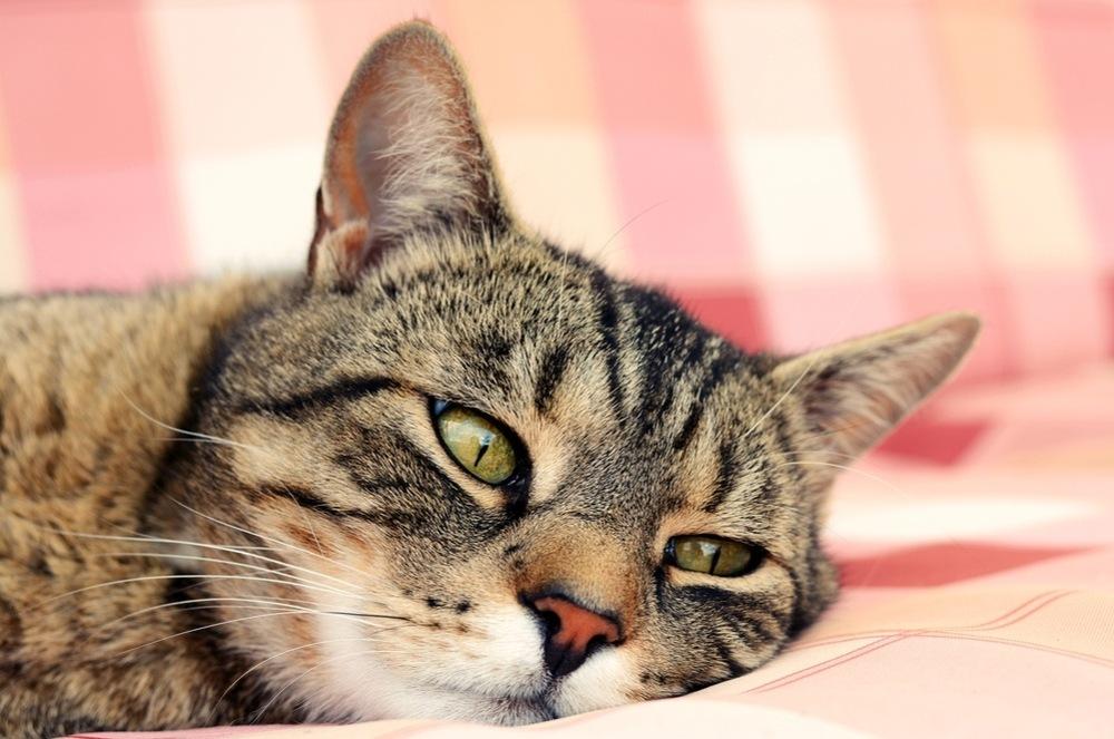 Кишечная инфекция кота