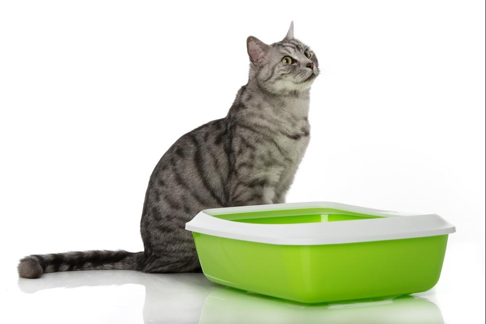 Кал зеленого цвет у кота