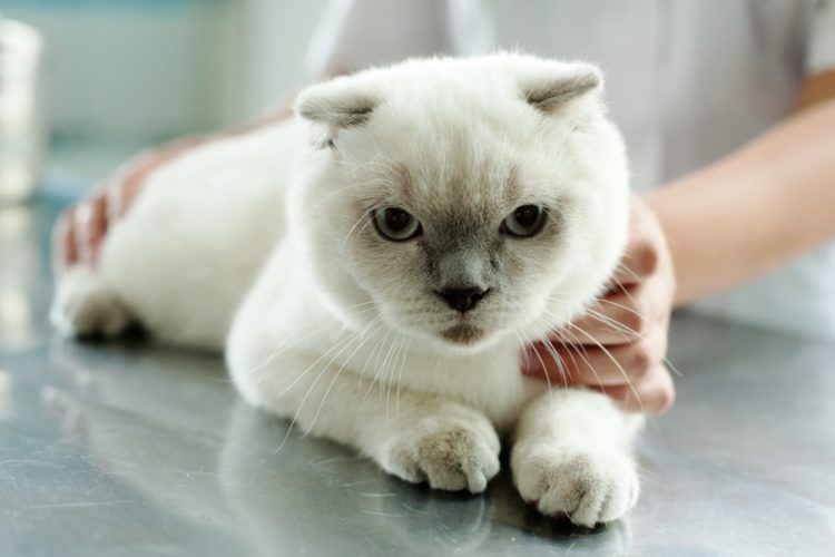 причины поноса шотландских хайлендов котят 6 месяцев