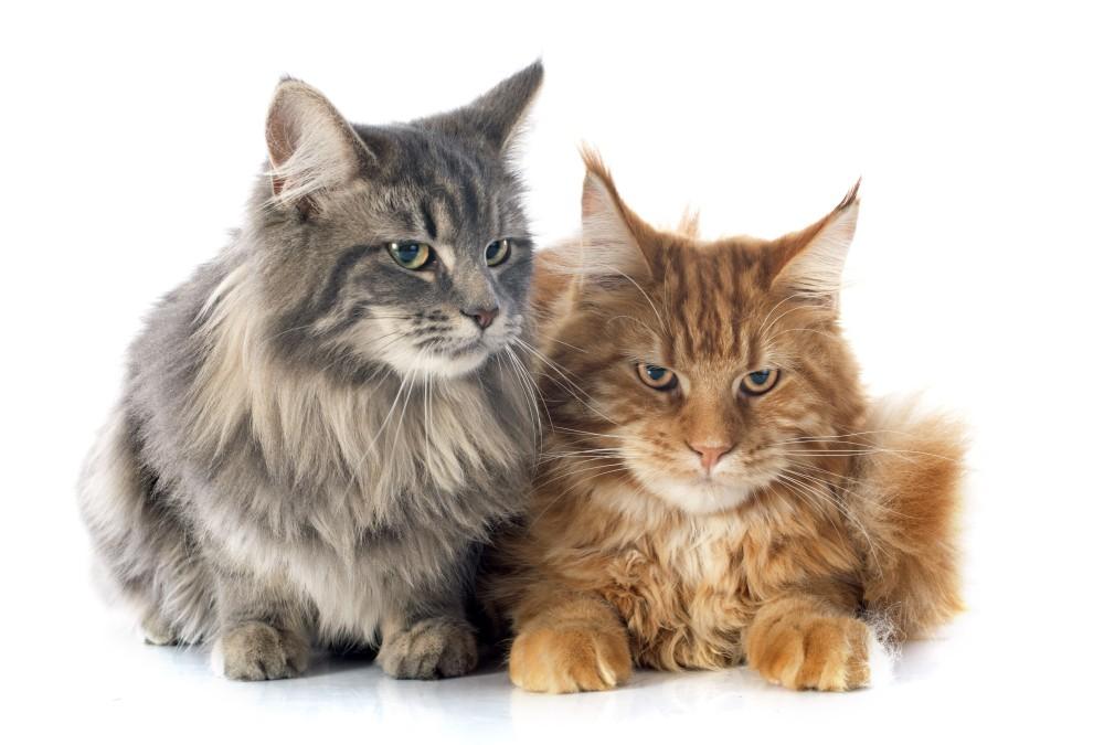 Как отучить кота метить территорию в квартире - полезные советы