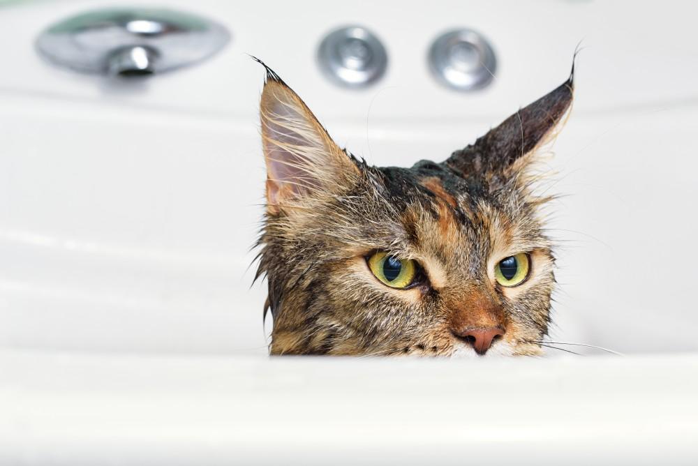 Когда кота можно помыть после кастрации