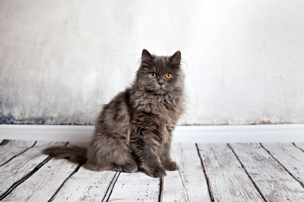 Продолжительность жизни персов котов