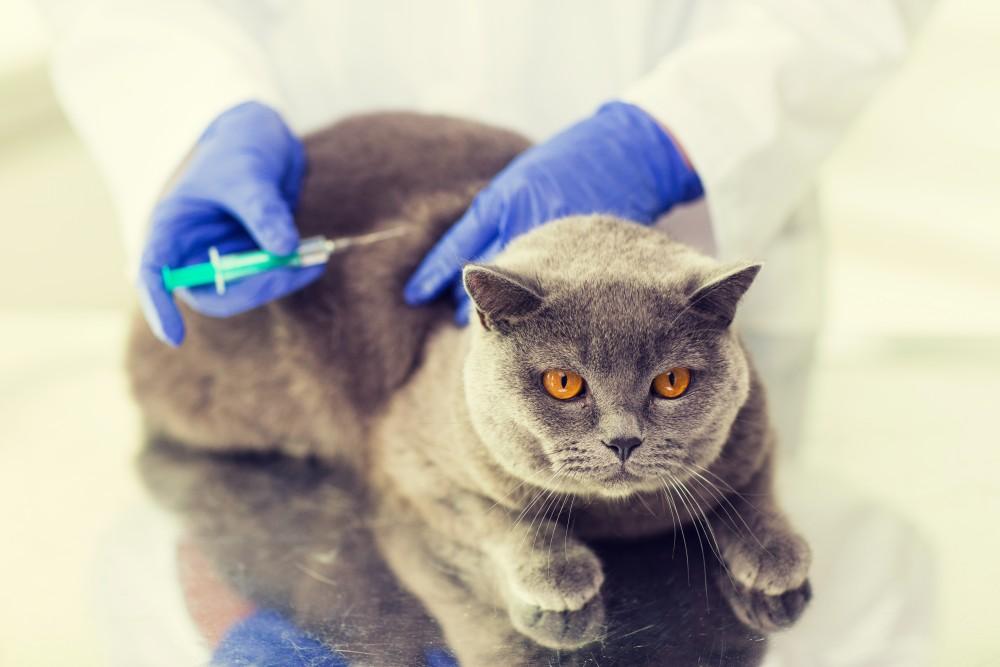 Прививка кота перед кастрацией