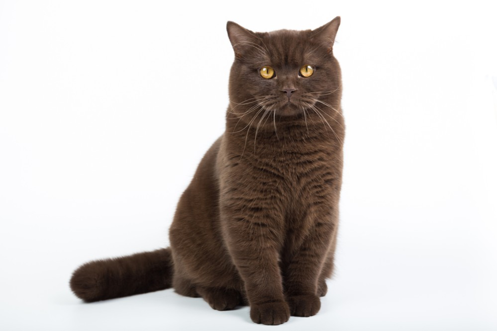 С какого возраста кастрируют котов шотландцев